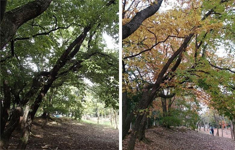 秋のはじまりから紅葉へ アベマキの様子