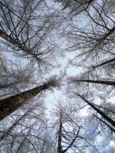 積雪の樹冠