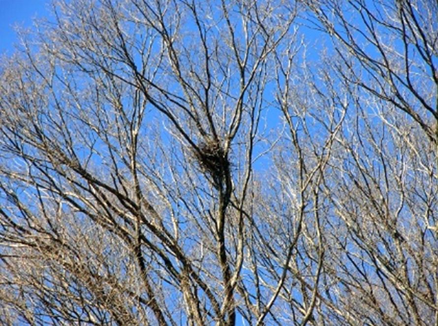 枝と枝に作られている鳥の巣