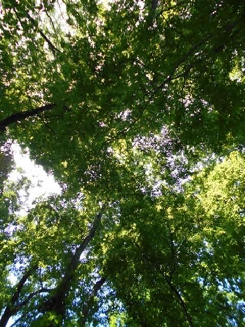 6月の樹冠