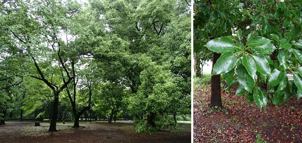 クスノキの樹木(左)と葉(右)